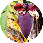 Fragrance Note: Banana Flower