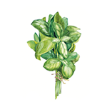 Fragrance Note: Basil