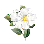 Fragrance Note: Cistus Labdanum