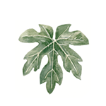 Fragrance Note: Fig leaves