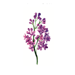 Fragrance Note: Heliotrope