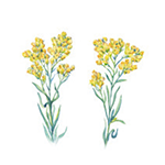 Fragrance Note: Immortelle