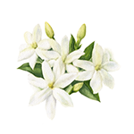 Fragrance Note: Jasmine