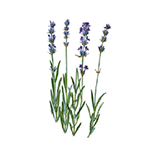 Fragrance Note: Lavander