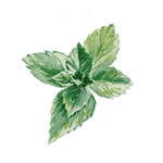 Fragrance Note: Mint
