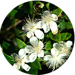 Fragrance Note: Myrtle