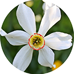 Fragrance Note: Narcissus