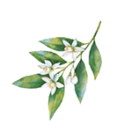 Fragrance Note: Neroli