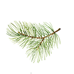 Fragrance Note: Pine needles