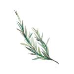 Fragrance Note: Rosemary