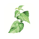 Fragrance Note: Shiso Leaf