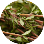 Fragrance Note: Thyme