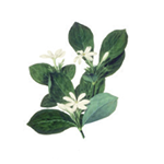 Fragrance Note: Tiare flower