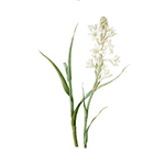 Fragrance Note: Tuberose