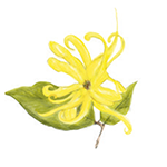 Fragrance Note: Ylang-ylang