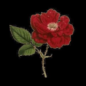 arcana rosa limited edition l artisan parfumeur en